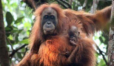 WWF: scoperto l'orango di Tapanuli, una nuova specie di scimmia
