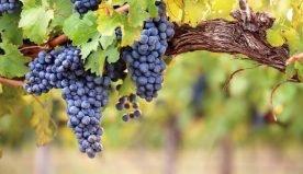 Incidenza dei cambiamenti climatici sulla coltivazione delle viti