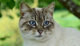 5 motivi per cui il gatto miagola sempre